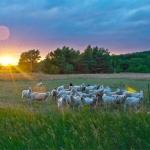 Schafe in Abendstimmung